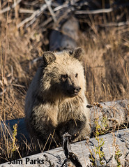 GB351 (Sam Parks Photography) Tags: autumn baby fall animal closeup rockies mammal cub nps wildlife young large headshot valley yellowstonenationalpark rockymountains wyoming tight predator coy juvenile carnivorous reproduction offspring carnivore ynp biggame firstyear parkservice grizzlybear predatory reproduce silvertip gye omnivorous ursidae carnivora omnivore ursine ursusarctoshorribilis verticalorientation greateryellowstoneecosystem northamericanbrownbear cuboftheyear springcub hyperphagia