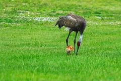 DSC_0028 (james_tolson) Tags: florida crane wildlife gators sandhill sandhillcranes alligators