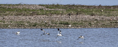 Avocet (26) (Mal.Durbin Photography) Tags: nature birds newport naturereserve newportwetlands maldurbin goldcliffnewport