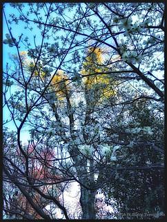 Dogwoods Flowers My Yard