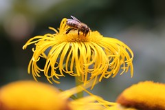 In Search of Nectar (tact1) Tags: flower garden surrey bee rudbeckia wisley royalhorticulturalsociety canon6d