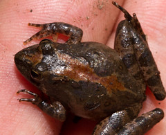 Blanchard's Cricket Frog (Hylidae, Acris blanchardi) (ale_santillana) Tags: toad anura amphibia gastrophryne microhylidae gastrophryneolivacea narrowmouthedtoad greatplainsnarrowmouthedtoad