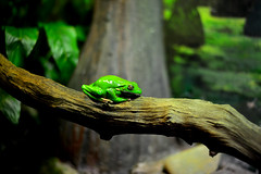 GREEN TREE FROG @ TARONGA ZOO (dale hartrick) Tags: tree green animals zoo sydney australia frog taronga tarongazoo greentreefrog