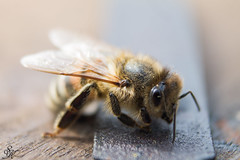 Maya (SKranzPhotos) Tags: canon insect sting natur bee makro beehive stich biene bienenstock