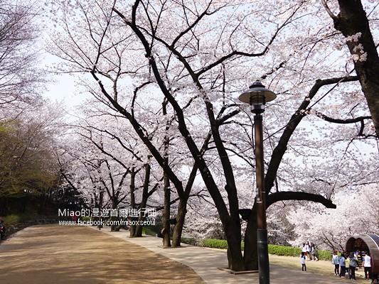 안산공원벚꽃07