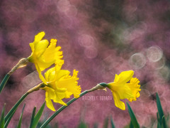 Colors (roseinthedark) Tags: park old nature colors yellow vintage spring colours shine blossom sweet bubbles olympus dreamy colourful daffodils narcissus vintagelens burcina narcisi primotar parcodellaburcina