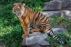 Not A Little Tiger Anymore (helenehoffman) Tags: animal sumatra mammal cub tiger bigcat sumatrantiger carnivore felidae pantheratigrissumatrae specanimal conservationstatusendangered sandiegozoosafaripark