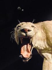 Big Cat (Hydra5) Tags: mammothsandmastodons ontariosciencecentre cat sabretooth prehistoric