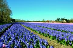 Holland Flowers Haycinten (JaapCom) Tags: flowers flower fleurs natural flowering flour paysbas bloemen noordholland bloem bloei naturel hollanda jaargetijden bloeien dutchnetherlands jaapcom haycinten