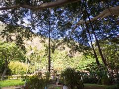big banyan 3 (dolanh) Tags: hawaii maui iaovalley banyantree kepaniwaipark thekoreangarden