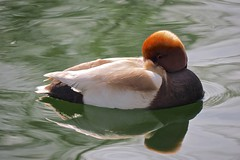 Chillin........ (klythawk) Tags: nottingham red orange brown sunlight white black reflection green nature spring beige arnold redcrestedpochard nettarufina divingduck arnothillpark klythawk