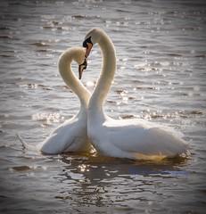 Beautiful! (Albatross Imagery) Tags: bird beautiful birds swan wildlife swans wildbirds