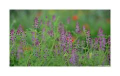 Spring time (g.femenias) Tags: flowers macro spring bokeh petra mallorca springtime minimallandscape