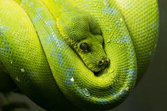Green Tree Python 22 (cypher40k Photography) Tags: toronto color colour green zoo nikon snake python torontozoo greentree greentreepython