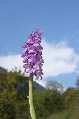 photo2 (luka116) Tags: fleur suisse branson avril valais 2016 anacamptis anacamptismorio orchidaces follateres lesfollateres