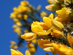 Gorse and blue sky. (Sharon B Mott) Tags: flowers nature yellow petals bluesky april shrub springflowers gorse