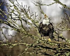 Sounding Off............ (Hawg Wild Photography) Tags: bird nature birds nikon eagle wildlife baldeagle raptor prey eagles raptors americanbaldeagle d810 of terrygreen nikon600mmvr