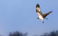 Osprey with fish (pike) (Artefax Jericho) Tags: fish river eagle hawk flight pike vis osprey bif fishhawk seahawk pandion snoek haliaetus visarend trichelbroek