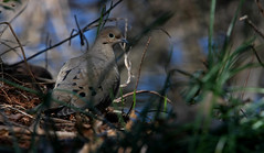 It's A Beautiful Mourning   :) (jrussell.1916) Tags: bird nature spring shadows dove wildlife mourningdove secluded canonef70200f4lis14tc