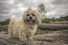 Ruffles (Ruffies) (Freshairphotography) Tags: dog pet beach animal loving sad sweet driftwood companion faithful islandviewbeach familymember multipoo
