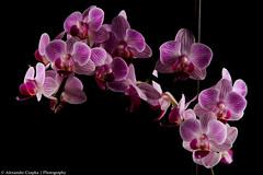 Orchidee / Orchid (Alexander Czapka) Tags: flowers orchid flower macro nature rose germany deutschland natur blumen phalaenopsis orchidee blume makro lowkey lightbox lichtzelt