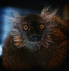 big wide eyes ... (2) (ddimblickwinkel) Tags: africa zoo monkey dresden nikon explore sachsen afrika tierpark tamron elbe tier affe dschungel d300 primaten lemuren halbaffe d300s