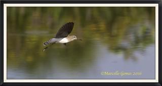 Solitary Sandpiper (Tringa solitaria) SOSA - A True Solitary Flight...