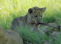 A New Game (oldoinyo) Tags: africa grass lion pride safari predator okavango pantheraleo