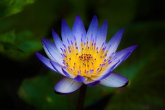 Spring Waterlily (Changer4Ever) Tags: life plant flower color macro nature season spring nikon colorful dof blossom bokeh outdoor blooming d7200