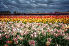Tulip Festival (gr8fulted54) Tags: nikon hdr on1 photomatix tonemapped d7100