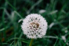 Paardenbloem (MJ Klaver) Tags: flower nature closeup dewdrops drops bokeh dandelion dew 135mm czj carlzeissjena primelens oldlens ausjena manualfocuslens carlzeissjenasonnar135mm ddrlens carlzeissjenasonnar135mmf35mcred