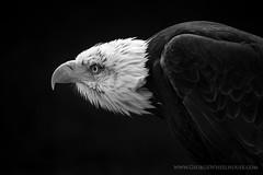 Bald Eagle On Black (Old-Man-George) Tags: portrait bird animal eagle baldeagle beak feathers hampshire raptor captive hawkconservancy wwwgeorgewheelhousecom georgewheelhouse d880229