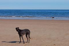 150812 Cayton Bay-0147 (whitbywoof) Tags: sea rescue dog pet greyhound beach bay seaside running pixie retired racer pedigree cayton keela killalaluckie