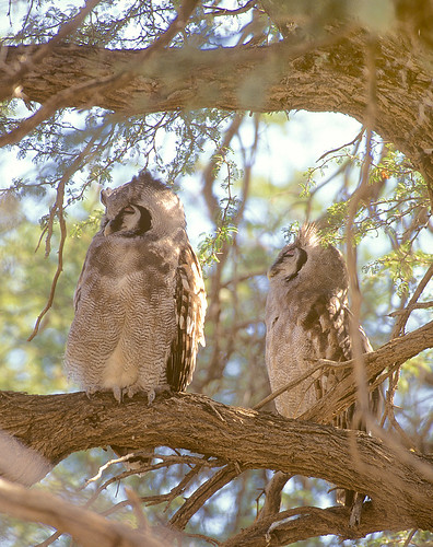 Verreaux's Eagle Owl , sub adult chick Right, Kgalagadi National Park,
