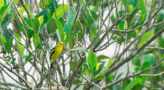 Common iora ( ) (Asraf Zaman) Tags: bird yellow jackfruit iora