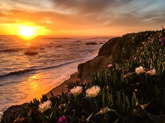 Ice Plants in the Sunset (zoxcleb) Tags: ocean sunset coast pacific highway1 pacificocean iceplant hottentotfig pescadero pacificcoast iceflower pigface iphoneography