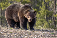 full frontal... (JA Photography - Be There, Out There) Tags: alberta banffnationalpark grizzlybear canadianwildlife