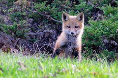 Close Up Frontal View of a Standing Red Fox Pup (George Oze) Tags: wild usa nature animal horizontal closeup mammal us newjersey outdoor clinton unitedstatesofamerica watching young meadow northamerica wildanimal daytime pup carnivorous redfox hunterdoncounty frontalview oneanimal colorimage lowangleview babyfox vulpesfulva foxpup newjertsey onefox oneredfox