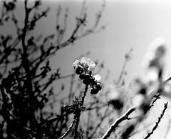 (a signal) (Dinasty_Oomae) Tags: blackandwhite bw monochrome cherry blackwhite spring  cherryblossom ibaraki exakta     tukuba ihagee       vx