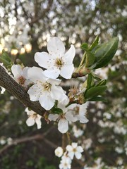 Smells like spring (miahellbergbjorck) Tags: summer white flower tree spring moments outdoor magic like capture smells