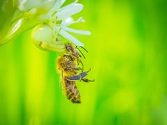 (Nikola Ostrun) Tags: life light flower macro nature closeup death spider natural outdoor dramatic naturallight bee