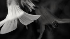 la vida en blanco y negro (p10) (mfernanl) Tags: naturaleza macro planta primavera blancoynegro nature tristeza flor compaia apoyo