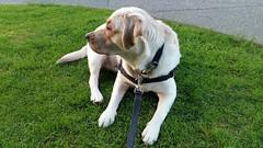 Gracie lying on a neighbour's lawn (walneylad) Tags: dog pet cute puppy spring gracie lab labrador canine april labradorretriever