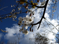Blossoming (Gilder Kate) Tags: sky clouds lumix blossom bluesky surrey panasonic april abinger whiteblossom panasoniclumix uptothesky whitedowns whitedown tz70 dmctz70 panasoniclumixdmctz70 whitedownwood