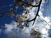 Blossoming (Gilder Kate) Tags: sky clouds lumix blossom bluesky surrey panasonic april abinger whiteblossom panasoniclumix uptothesky whitedowns whitedown tz70 dmctz70 panasoniclumixdmctz70 whitedownwood