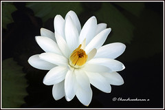 6105 - water lily (chandrasekaran a 32 lakhs views Thanks to all) Tags: india nature waterlily lily chennai canoneos760d