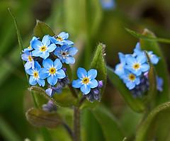 Forget Me Not - Myosotis sylvatica (Oldt1mer - Keith) Tags: blue white plant flower leaves yellow leaf petals pretty bright small petal tiny forgetmenot sthelens merseyside myosotissylvatica carrmilldam