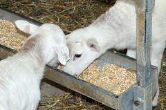 Learning to eat (baalands) Tags: hair sheep eating feeder lambs feed creep katahdin