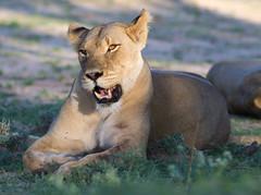 Light and shadow (jaffles) Tags: park holiday nature beautiful southafrica wildlife natur lion olympus predator kalahari sdafrika lwe transfrontier kgalagadi