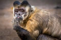 Watching Each Other (helenehoffman) Tags: southamerica nature animal monkey amazon sandiegozoo newworldmonkey amazonbasin brownmonkey blackcappedmonkey pinmonkey specanimal cebusapellaapella tuftedcapuchin conservationstatusleastconcern onmnivore